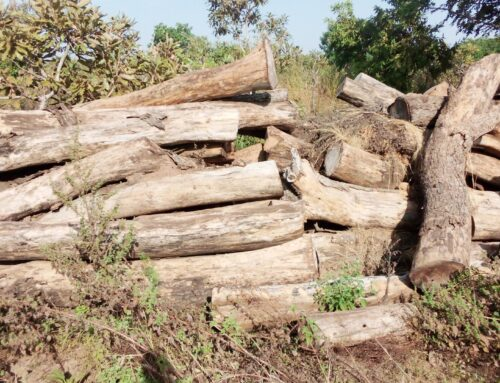 CITIES permit for Sale:  Government and F C to salvage lying logs as loggers already harvesting fresh rosewood in the Savannah and Upper East Region.